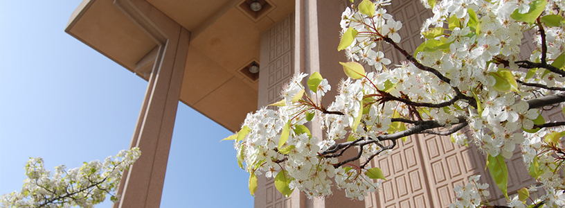 pear blossoms outside the oviatt library