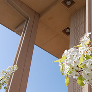 Outside CSUN University Library with Pear Blossoms
