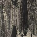 Giant Sequoias in Yosemite
