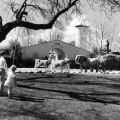 Adohr Farms front entrance with three-times grand champion Guernsey cow Linetta in the center, ca. 1937