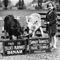 Actress Shirley Temple posing for a publicity photograph with cows Tillie Temple and Dinah from Adohr Farms in Reseda, ca. 1937