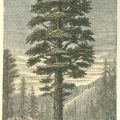 Sierra Nevada Big Trees: History of the Exhibitions, 1850-1903