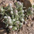 Everlasting neststra, Sierra Tidy Tips blossom