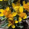 Syntrichopappus fremontii (Fremont's Gold)