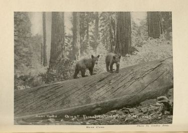 Bears,  in The Lore and the Lure of Sequoia and Kings Canyon