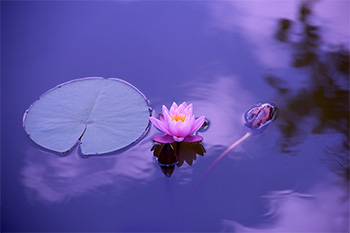 Lotus flower and lilypad